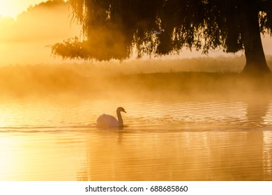 Silhouette of a single Mute Swan (Cygnus olor) on a calm peacful misty foggy lake at golden sunrise