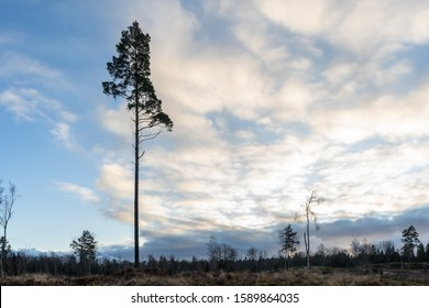 Silhouette of single tall pine against cloudy sky. The black branches on the fields, forest background. Scandinavia. December. Monochrome. Swedish winter landscape.