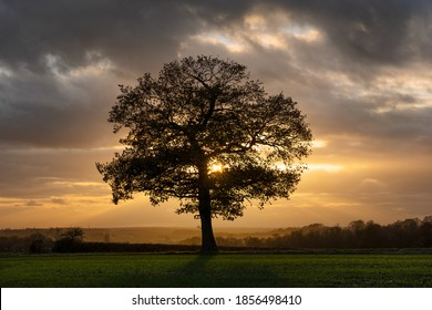 Silhouette of a solitary oak tree in a field at golden hour in autumn fall shortly before sunset. Much Hadham, Hertfordshire. UK