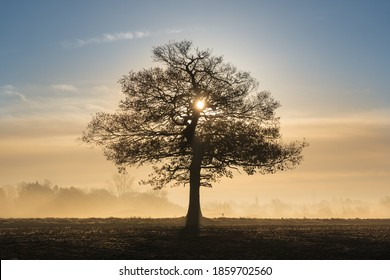 Silhouette of a solitary oak tree in a field with early morning sunlight and frosty mist.