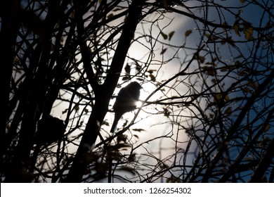 Silhouette of a sparrow on a branch, September 15, 2018, Norilsk