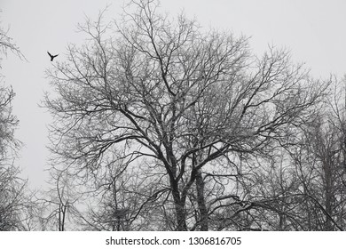 Silhouette of a spreading tree with bare branches, flying bird.