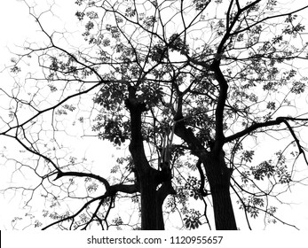 silhouette of spring tree on white background