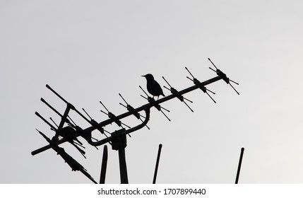 silhouette of starling perched on top of tv antenna protecting a nest