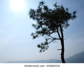 silhouette style of branch of pine tree under the sunlight, pine tree is an evergreen coniferous tree that has clusters of long needle-shaped leaves.