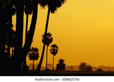 Silhouette of Sugar Palm tree farm with sunset background , farmer on sugar plam in the middle at during sunset