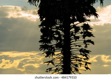 silhouette of sugar palm trees
