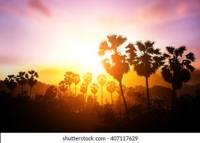 silhouette sugar tree on sunset. sugar palm tree