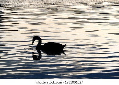 Silhouette of a swan on a lake during sunset.