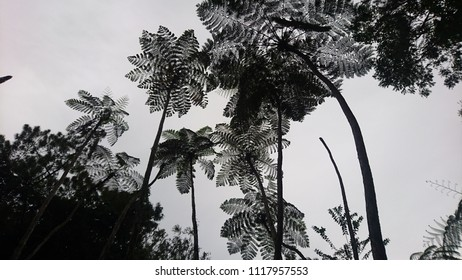 Silhouette of tall fern trees across the bright sky.