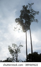 Silhouette of tall tropical rain forest trees in a cloudy day