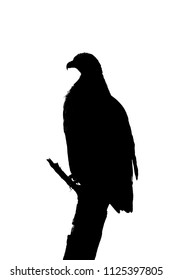 Silhouette of tawny eagle on dead branch