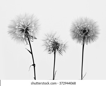 silhouette of three flowers dandelions - Shutterstock ID 372944068
