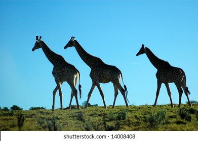 Silhouette of three wild African giraffes photographed in opposite light against the sun walking in a game reserve in South Africa
