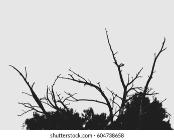 The silhouette of the top of the pine tree on a white background