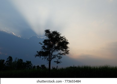 silhouette tree in with sunset at sugarcane field. light ray and tree. sun against  tree.