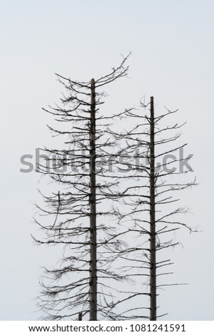 Silhouette of two dead spruce trees by a bright background