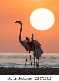 silhouette of two flamingos against Sunset at Mandvi, Gujarat, India