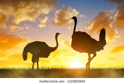 Silhouette the two ostrich on the savanna in the orange sunset sky. African wild animal.
