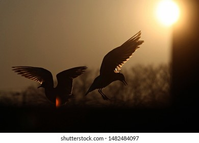 Silhouette of two seagulls with spread wings during the sunset