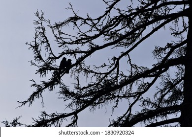 Silhouette of two Western Jackdaws, Corvus monedula on a tree branch.