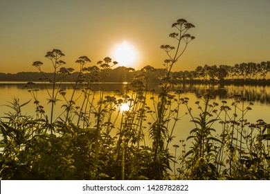 Silhouette of Valerian medicinal herb, Valeriana officinalis, photographed against sunlight on shore of lake during sunrise with reflection of sun in water surface