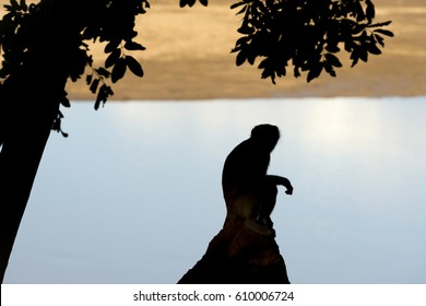 Silhouette from a Vervet Monkey