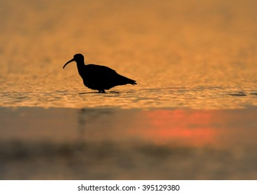 Silhouette of wading bird, Whimbrel, Numenius phaeopus on white beach of Zanzibar island against orange waves reflecting setting sun in background.