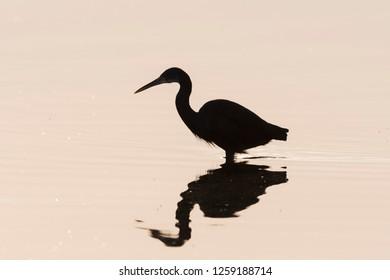 Silhouette of western reef heron fishing at the shore of Kabini river.