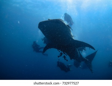 The silhouette of a whale shark ( Rhincodon typus) and divers in the blue sea, the biggest shark species like to swimming close to the surface. Thailand