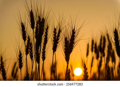 Silhouette of wheat in barley field at sunset.