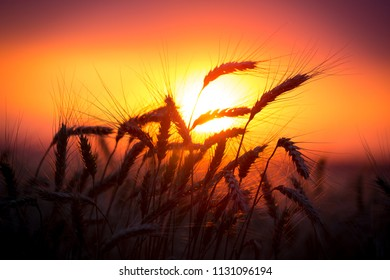 Silhouette of wheat ears against sunset, agricultural background
