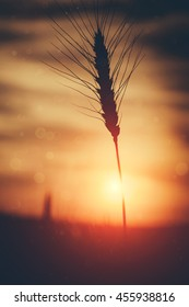 silhouette of wheat on a evening sky background. majestic sunset over a wheat field,   colorful sunrise. retro style. wonderful rural landscape. vintage creative effect