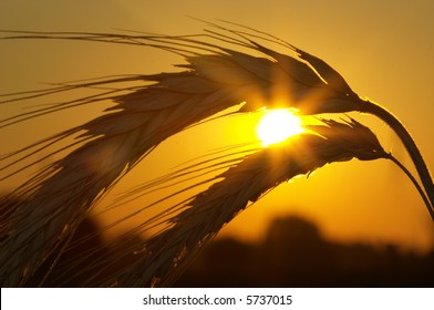 Silhouette of wheat on a sundown background