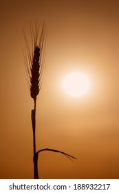 Silhouette of wheat with the sun in background