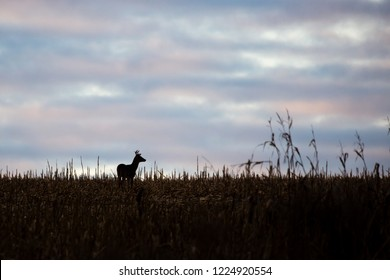 silhouette of a White-tailed deer buck standing in a cornfield