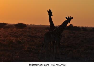 Silhouette of wild giraffes on sunset in African savannah. Etosha National Park in Namibia