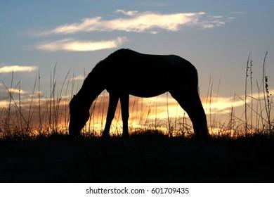 Silhouette of a Wild Horse on Cumberland Island, Ga.