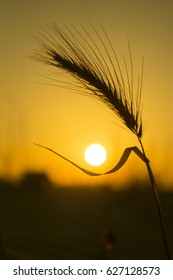 Silhouette of a wild plant in the shape of spica (spike) similar to wheat or rye on the orange background of the setting sun. The leaf of the plant is gently holding the sun which is  low at horizon