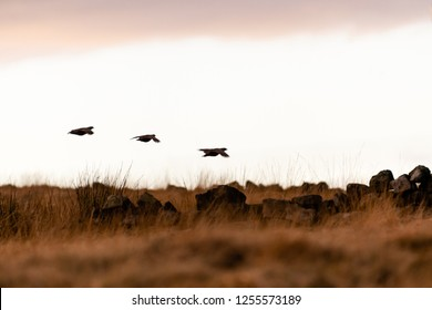 Silhouette of a wild red-legged Partridge in natural habitat of reeds and grasses on moorland in Yorkshire Dales, UK.