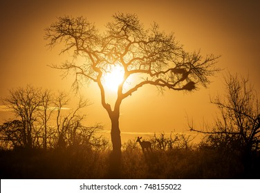 Silhouette of a young Kudu in The Kruger National Park South Africa standing in the bushveld beneath a tree at sunset