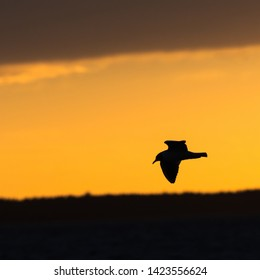 Silhouetted Black-headed Gull in gracil flight by an orange sky