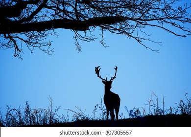 silhouetted fallow deer buck at night