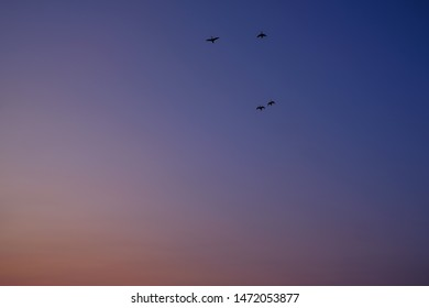Silhouetted Flock of Ducks Flying in the Sunset Sky. Silhouetted Small Flock of birds Flying in the Sunset Sky