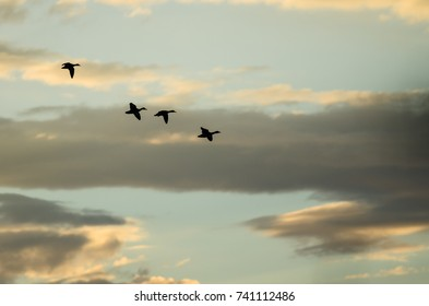 Silhouetted Flock of Ducks Flying in the Sunset Sky