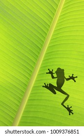 The silhouetted frog on the banana leaf.