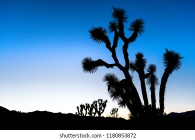 Silhouetted Joshua trees (Yucca brevifolia) at dusk off Stubbe Springs Loop in Joshua Tree National Park, California