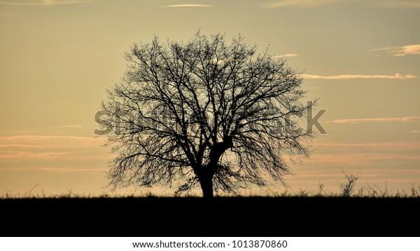 Silhouetted oak tree