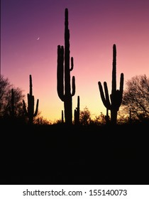 "Silhouetted saguaro cactus against a colorful morning sky/ Saguaro Cactus/ Found only in Arizona, southeastern California and Mexico the saguaro cactus is the trademark for ""Southwest""."