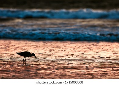 Silhouetted Sand Piper bird standing at the oceans edge with a muscle in his mouth. He is standing on the beach at sunset, beautiful gold and blue colors are being reflected in the water.
